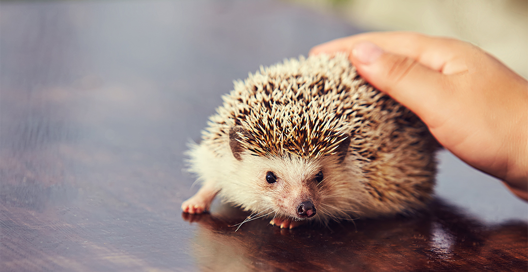 Health Canada investigating Salmonella outbreak linked to pet hedgehogs