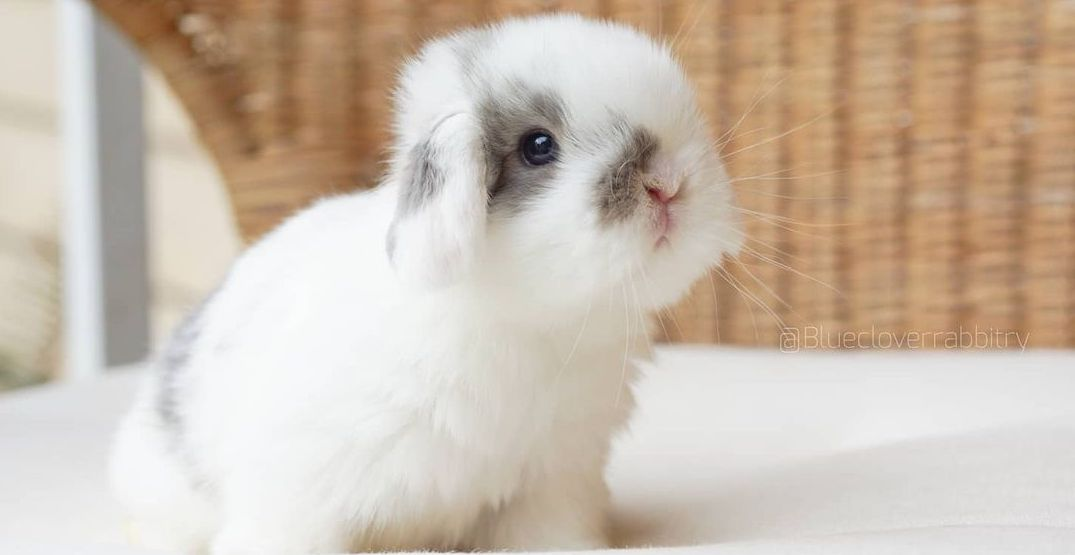A Washington rabbit rescue is offering at-home bunny therapy (PHOTOS)