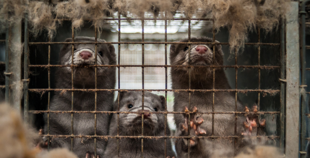 Opinion: Why BC's first mink farm COVID outbreak is a very bad sign