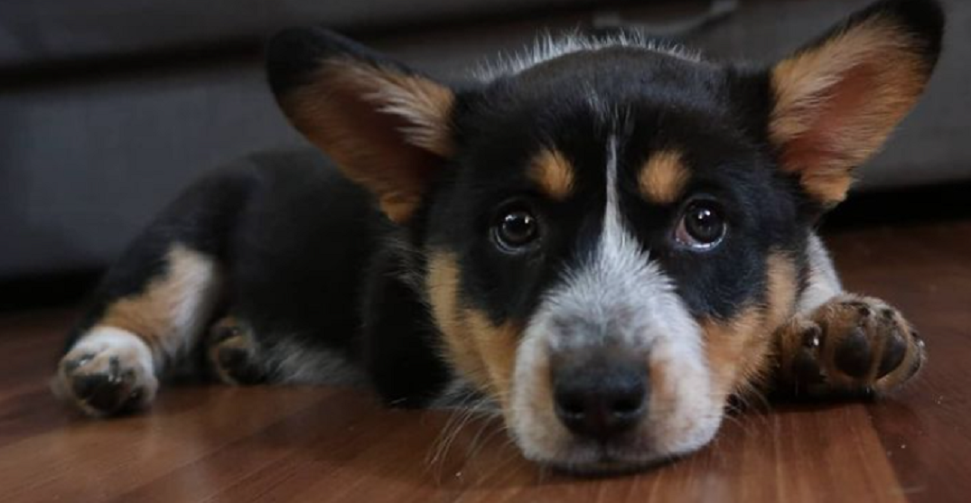 Calgary police warn of increase in puppy scams as holidays near