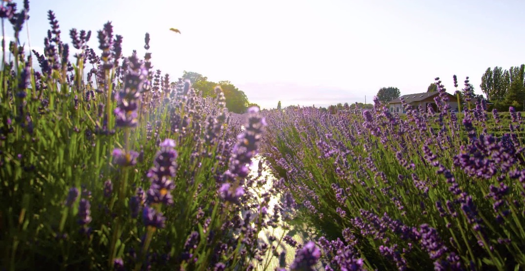Lavenderland Richmond slated to open in Metro Vancouver this spring