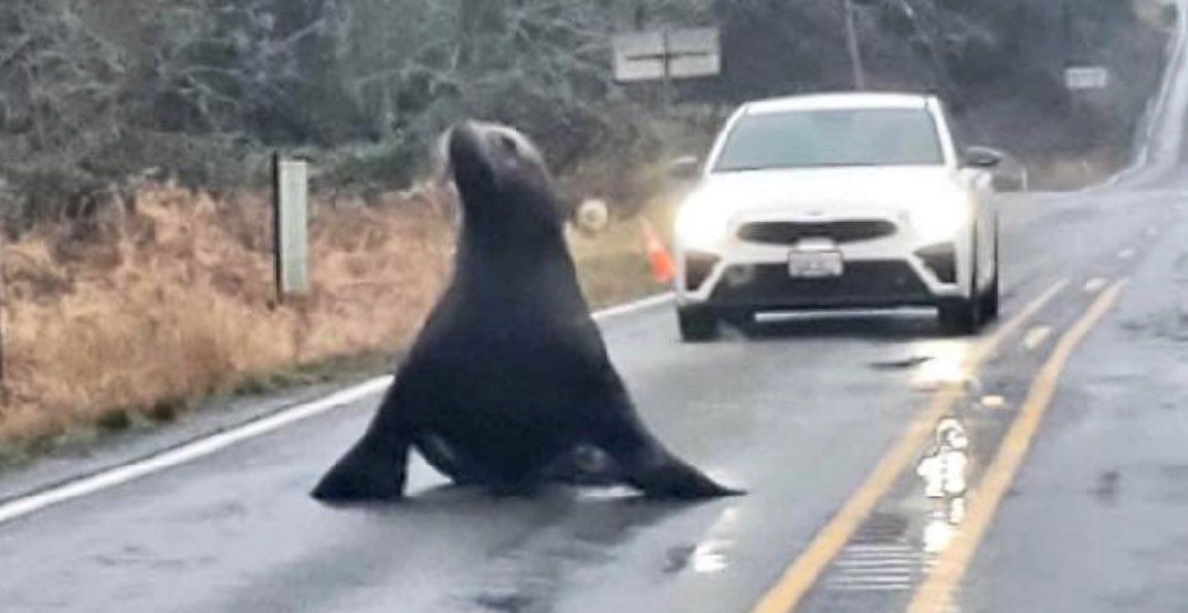 Sea lion found wandering on highway in Southwestern Washington