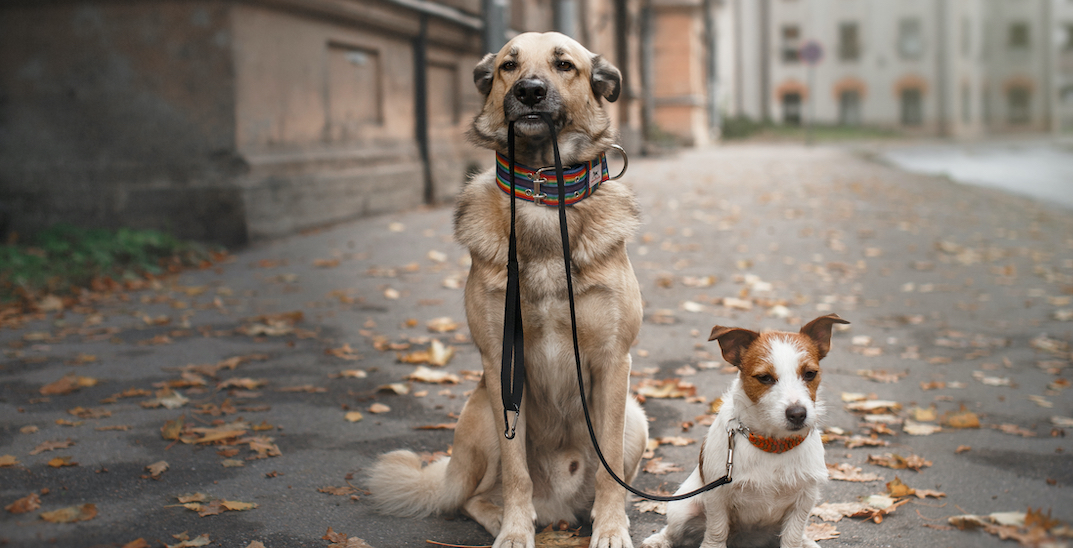 Quebec couple fined over $3k after wife walks husband on leash during curfew