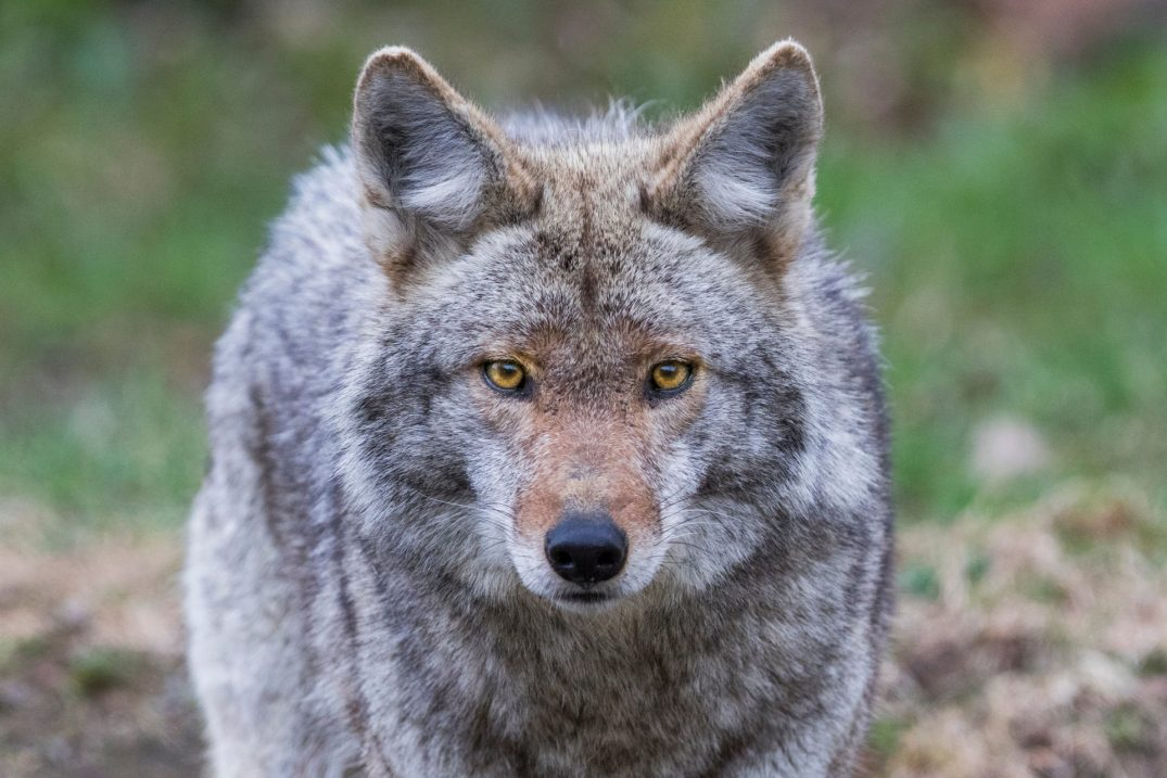 """Coyote captured in Stanley Park after more reports of """"nipping joggers"""""""