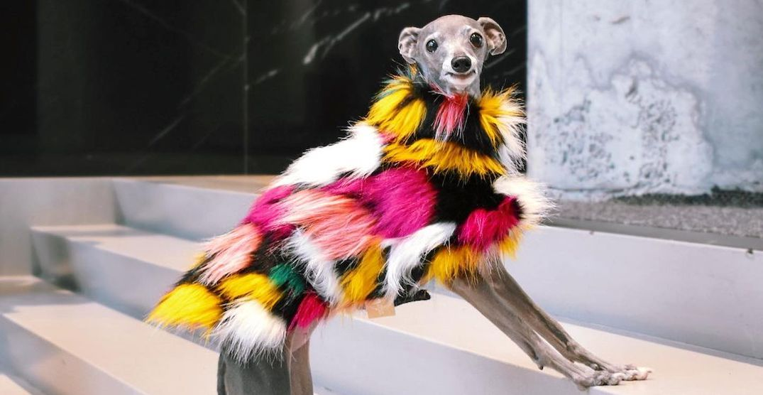Montreal's best-dressed dog was just featured in Vogue