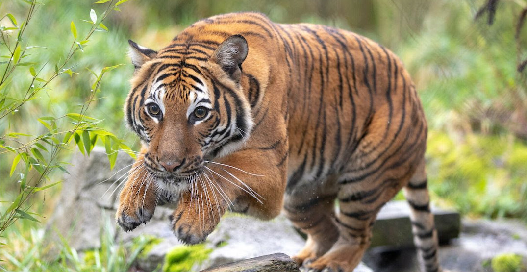 Woodland Park Zoo welcomes their first female Malayan tiger (PHOTOS)
