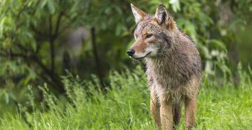 coyote stanley park