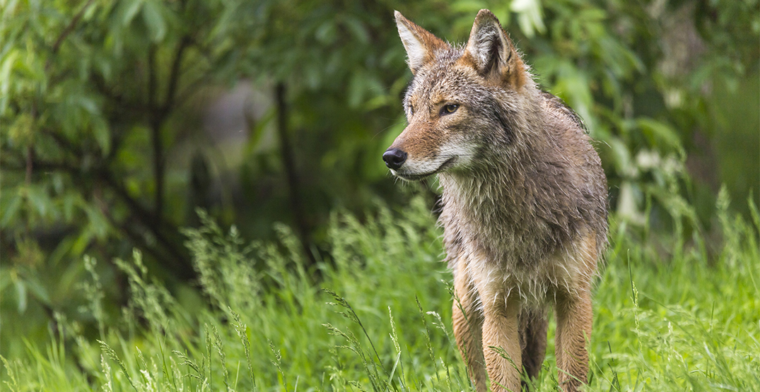 Woman bit by coyote while walking along seawall in Stanley Park