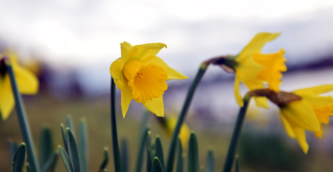 Daffodils bloom in January at Vancouver's English Bay (PHOTOS)