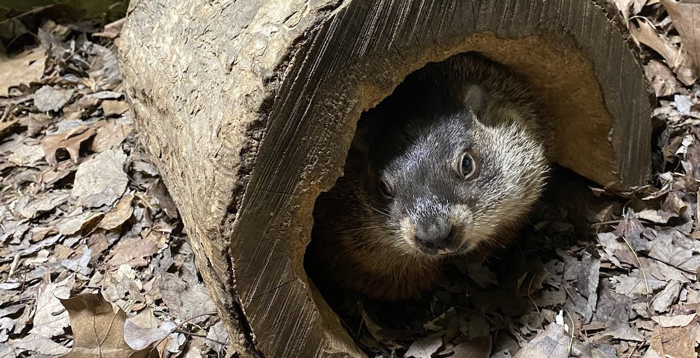 Groundhog Day 2021: Wiarton Willie, Shubenacadie Sam predict early spring