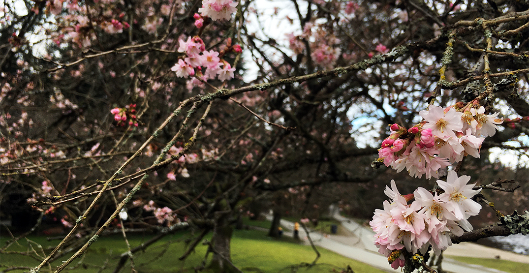 First cherry blossoms of the season bloom near Lost Lagoon (PHOTOS)