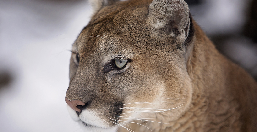 Cougar attacks dog on popular Metro Vancouver hiking trail