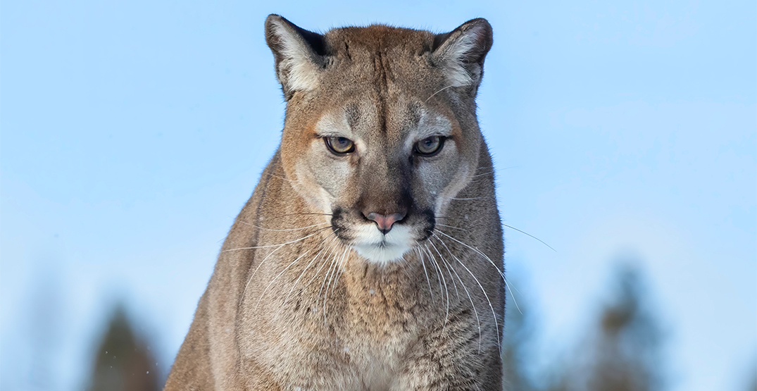 Cougar attacks small dog in Coquitlam neighbourhood