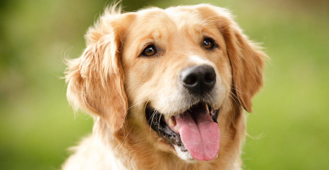 Golden Retriever ranked most popular dog breed in Canada