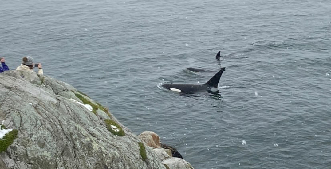 Orca pod stuns visitors at West Vancouver's Whytecliff Park (VIDEO)