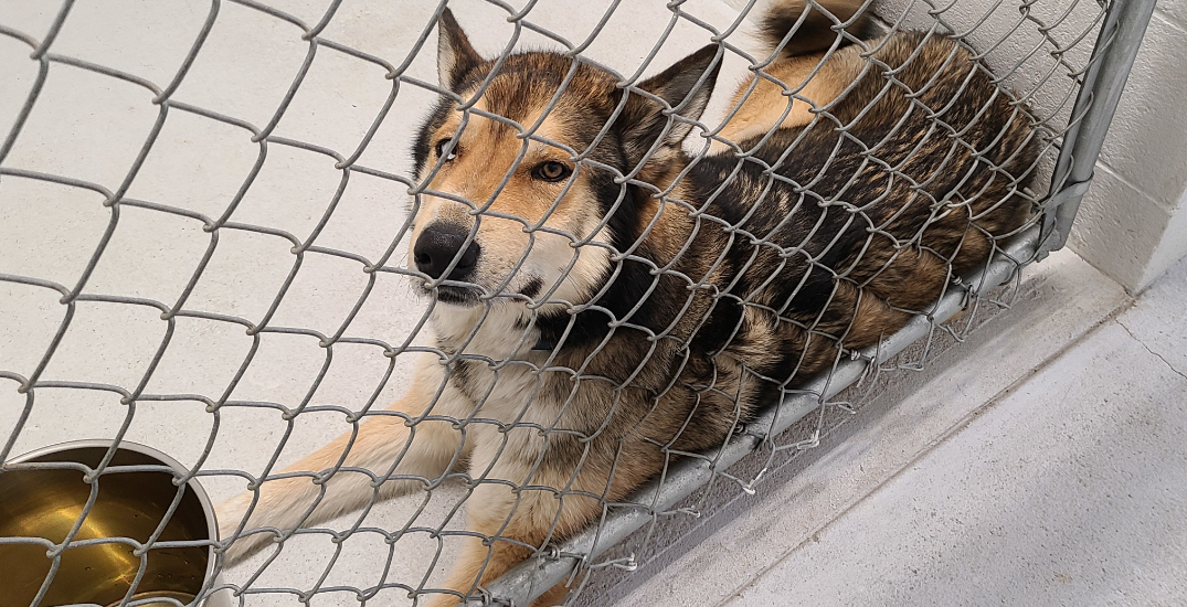 40 sled dogs rescued by BC SPCA over animal welfare concerns