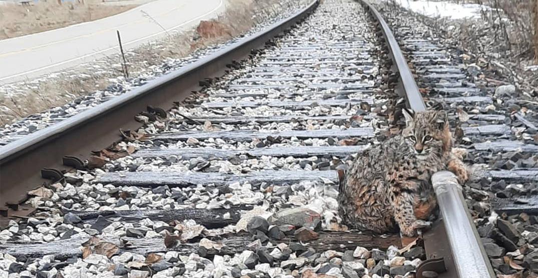 BC railway crew saves bobcat stuck on frozen train track