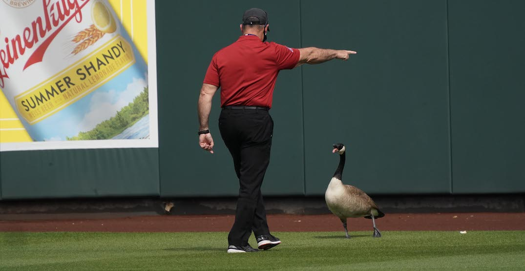 Aggressive Canada goose refuses to leave MLB game in Arizona