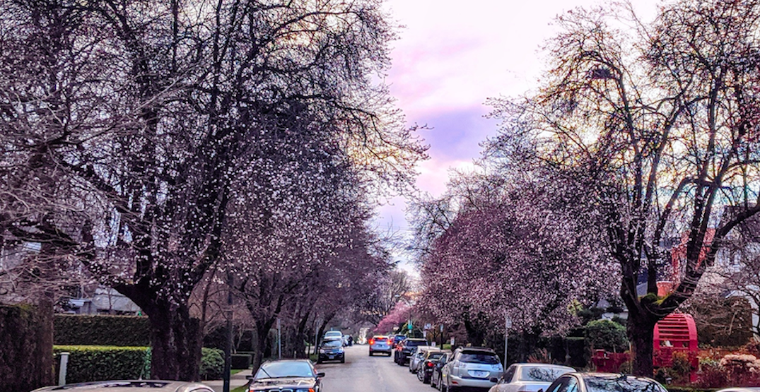 Cherry blossoms are already blooming in Vancouver (PHOTOS)