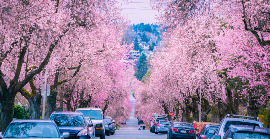 Here's how to safely enjoy this year's Vancouver Cherry Blossom Festival