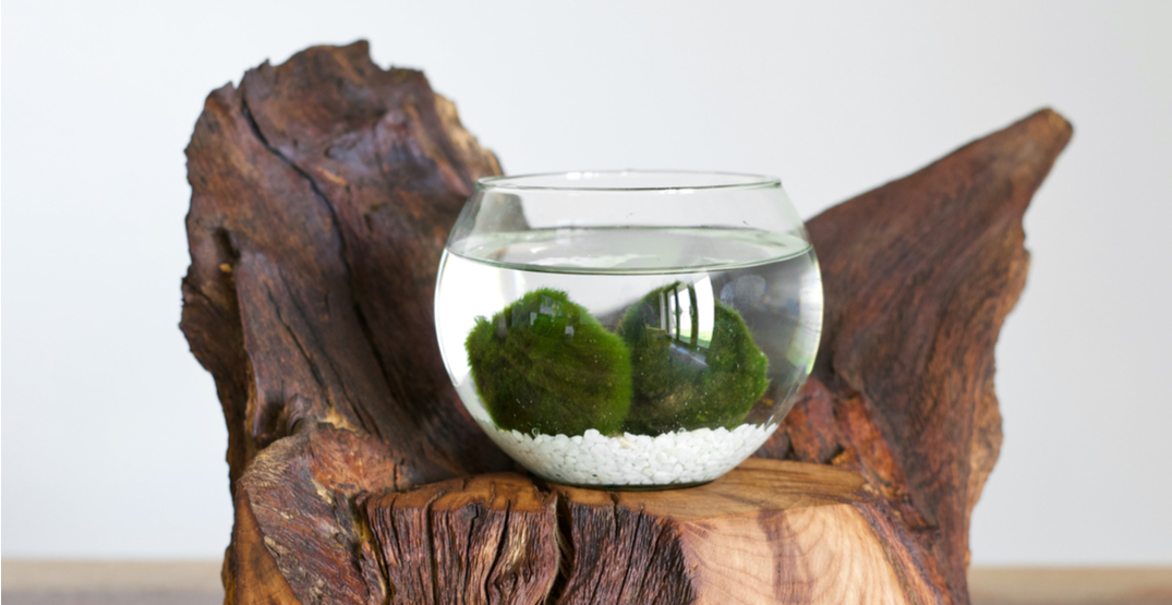 Your marimo moss balls may contain a dangerous invasive species