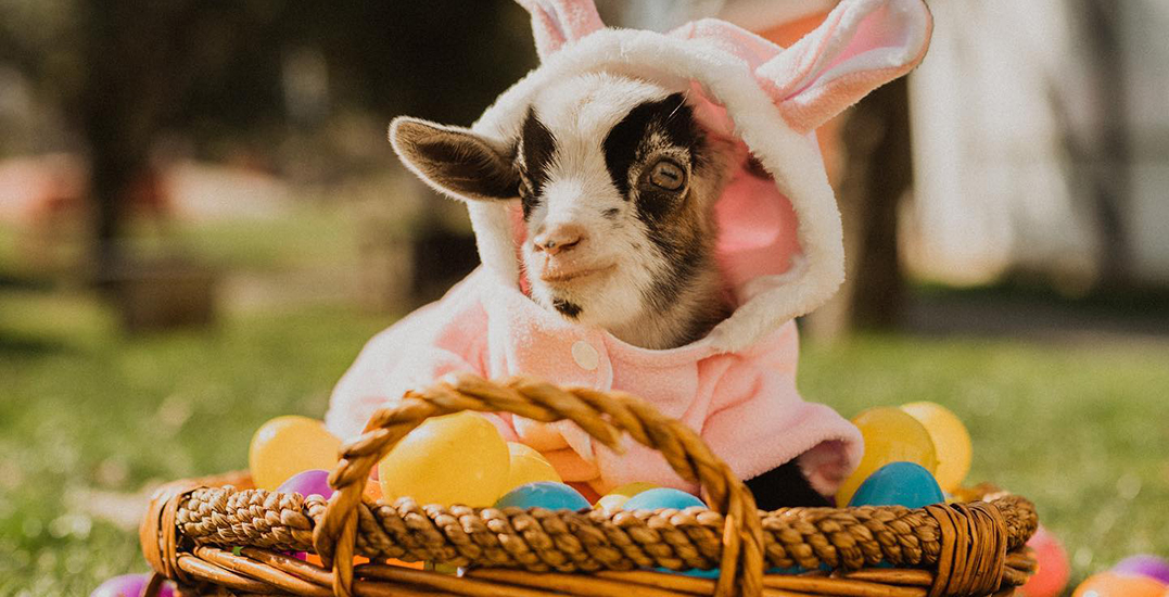 "Abbotsford farms hosting Easter drive-thru ""Egg-stravaganzas"" this April"