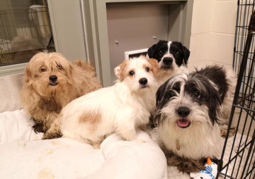 Some of the 119 small dogs seized by the BC SPCA