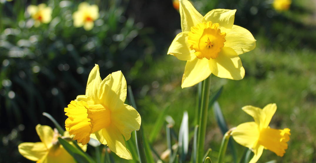Get a free bundle of daffodils at Pike Place Market this weekend