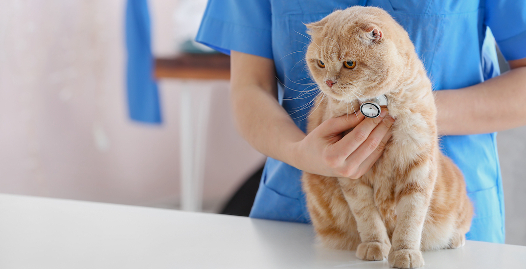 Montreal cat first to test positive for COVID-19 in Quebec