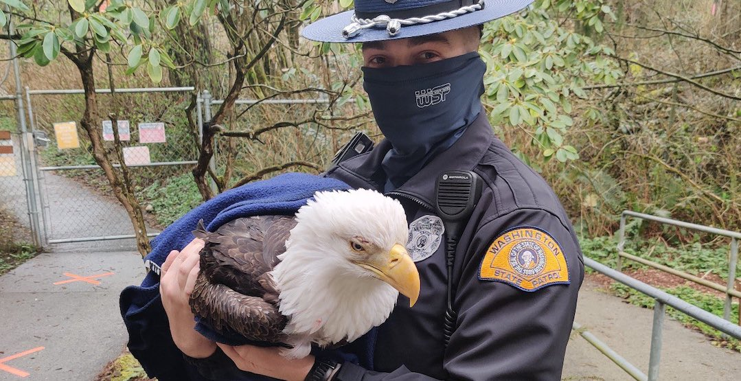 Bald eagle saved near West Seattle Freeway (PHOTOS)