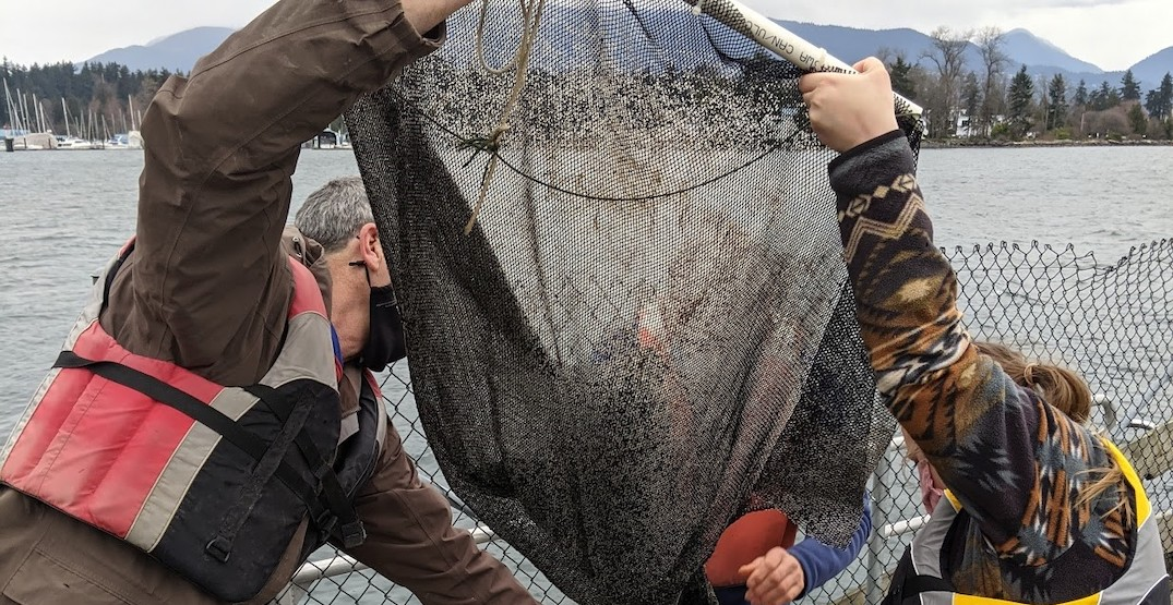 Herring eggs placed in Coal Harbour for an attempt at revival