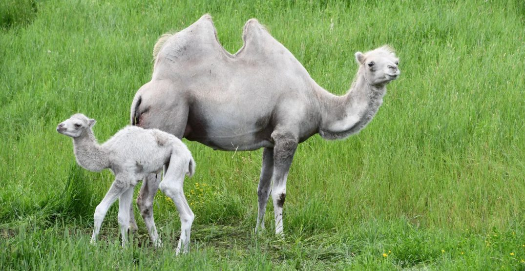Edmonton Valley Zoo reopening this week with new baby camel