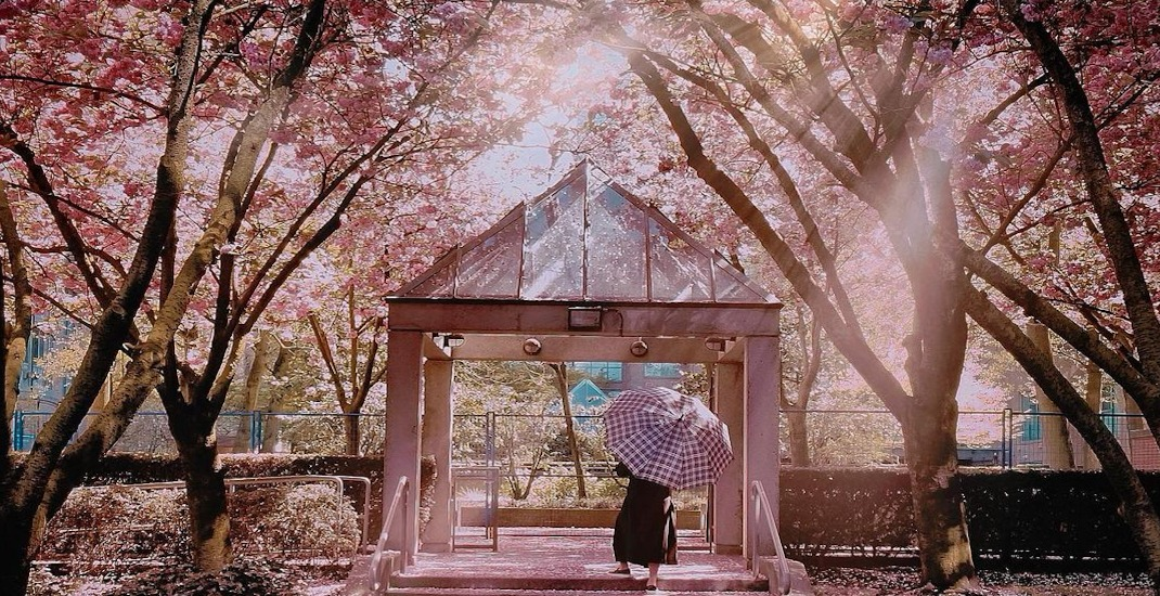 Vancouver is in full bloom with beautiful cherry blossoms (PHOTOS)