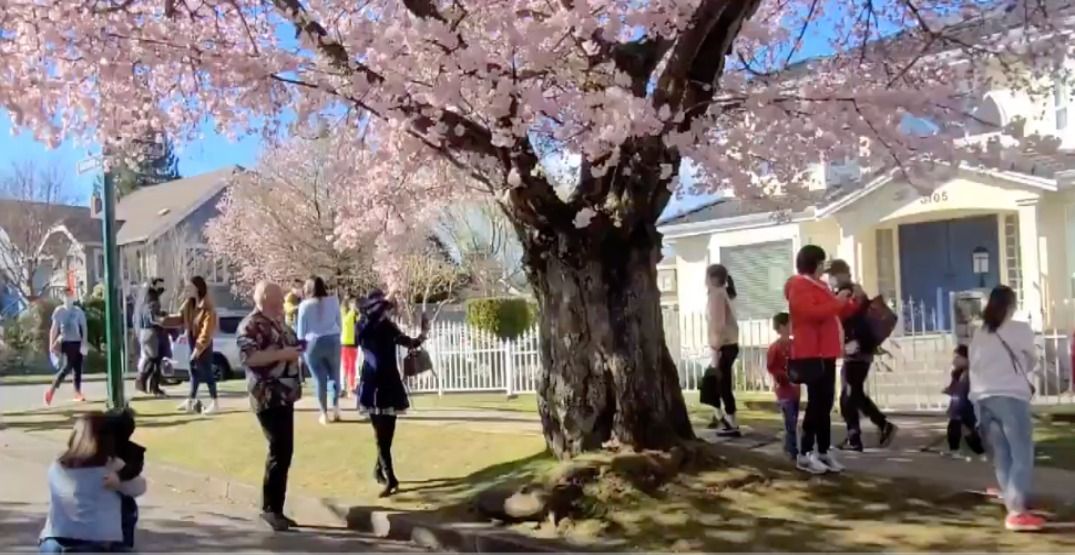 Drones, dinosaurs, cosplay: Vancouverites crowd cherry blossom-filled street (VIDEOS)