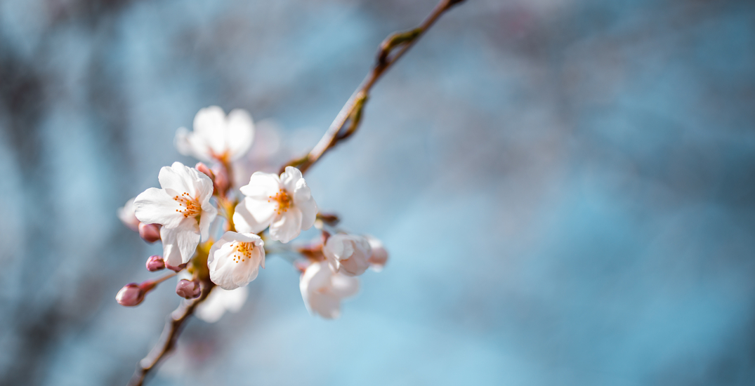High Park cherry blossoms blooming ahead of schedule due to warm weather