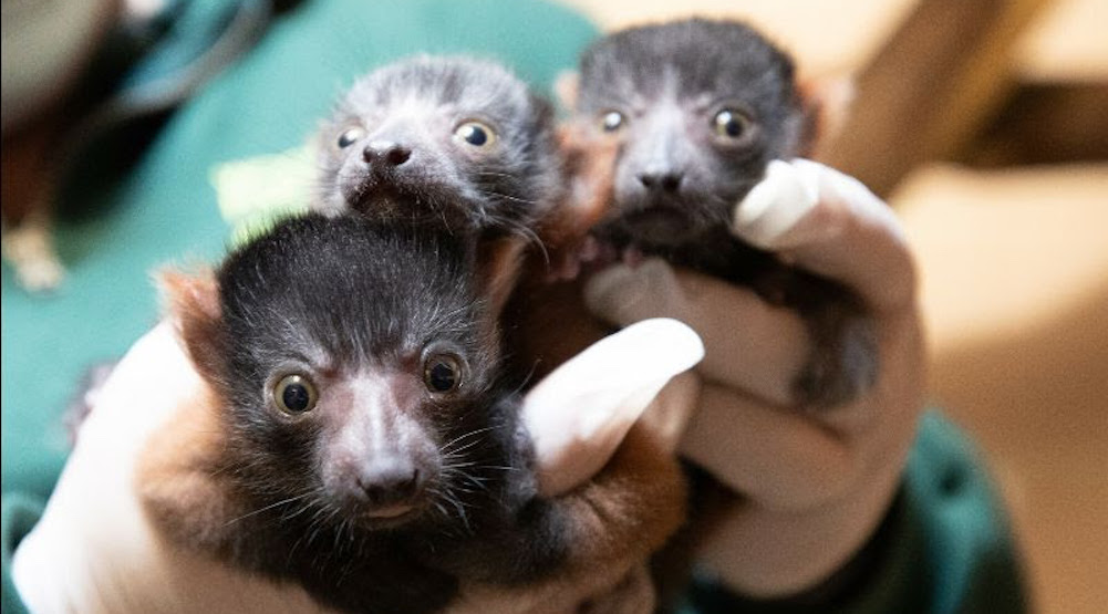 The Woodland Park Zoo is celebrating the birth of three baby lemurs