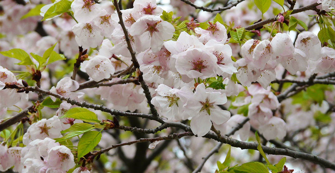 High Park to remain open for this year's cherry blossom season