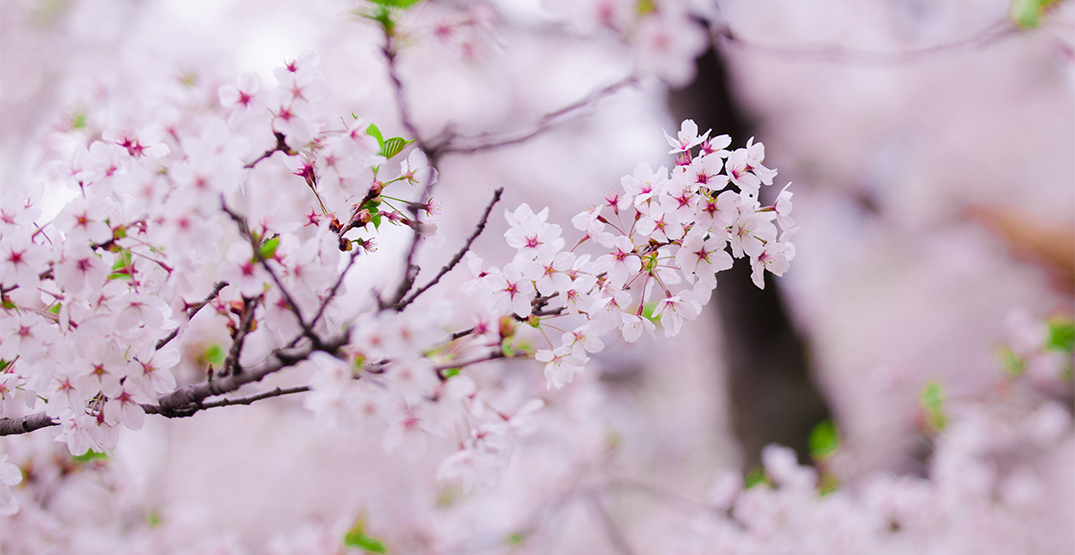 Everything you need to know about this year's High Park cherry blossoms