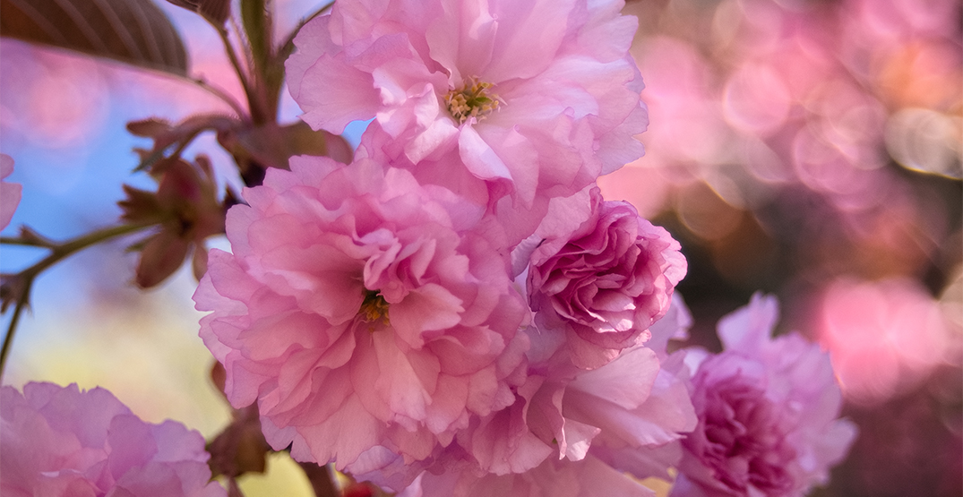 Mississauga's Kariya Park cherry blossoms are about to bloom