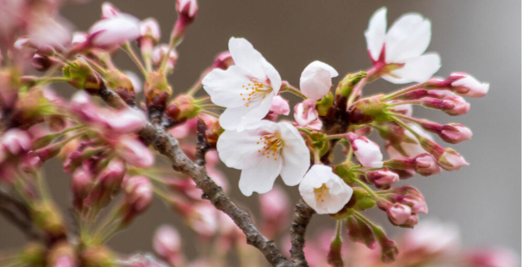 High Park cherry blossoms expected to reach peak bloom this week