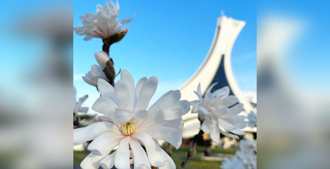 Magnolias are in bloom at the Montreal Botanical Garden (PHOTOS)