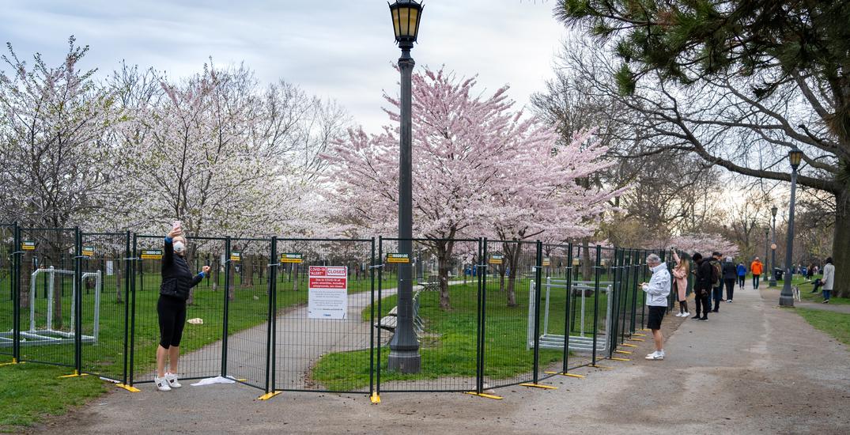 "Trinity Bellwoods cherry blossoms get ""sturdier"" fences after originals were torn down"