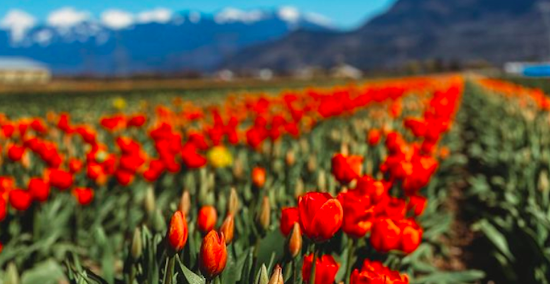 The largest U-pick tulip farm in the Fraser Valley is now open
