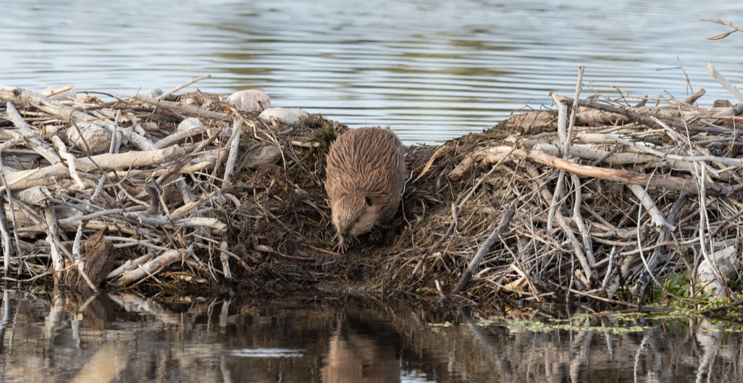 BC town loses internet after beavers chew through fibre cable