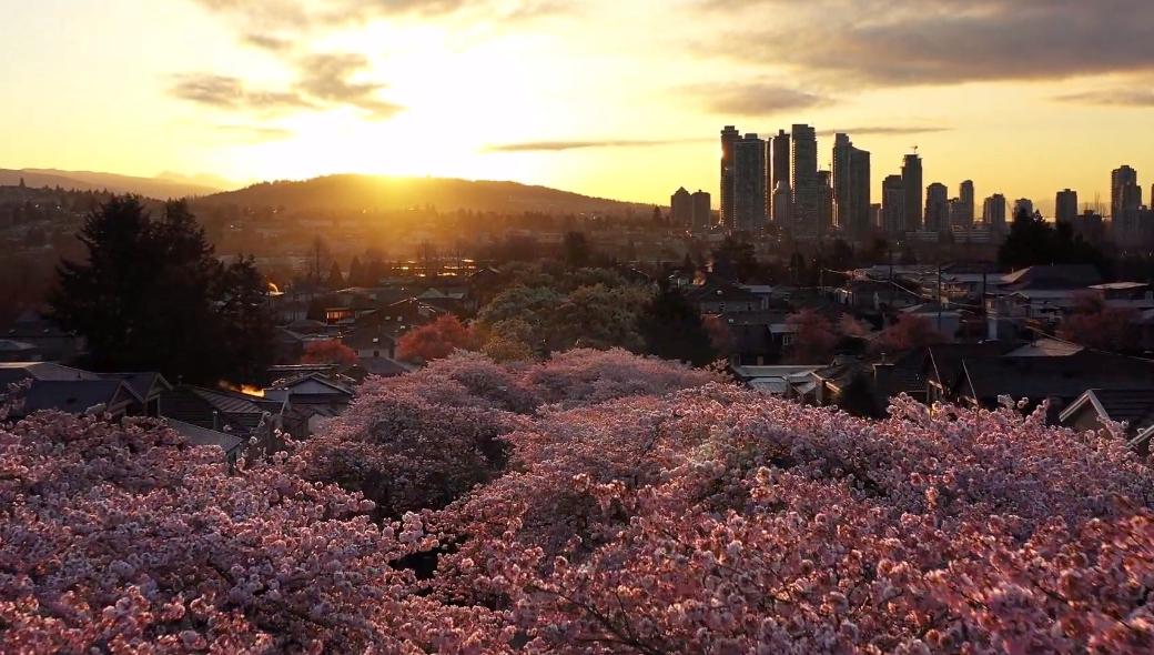 Drone captures mesmerizing view of Vancouver's cherry blossoms (VIDEO)