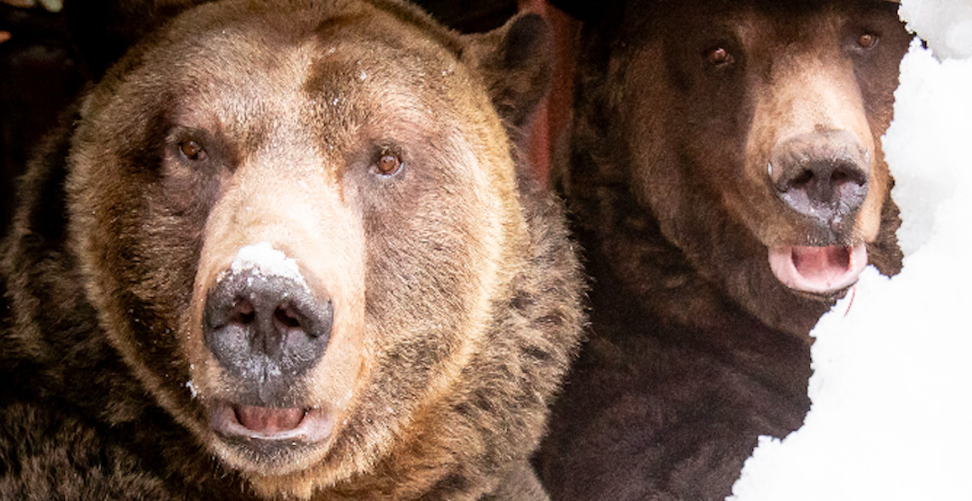 Grouse Mountain's grizzly bears emerge from hibernation (PHOTOS)