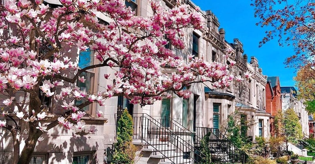 Beautiful cherry blossoms and magnolias have bloomed across Montreal (PHOTOS)