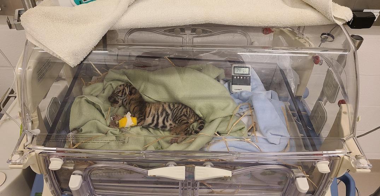 Toronto Zoo's newborn endangered tiger cub has died