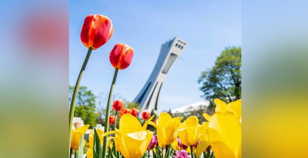 Tulips are in full bloom at the Montreal Botanical Garden (PHOTOS)