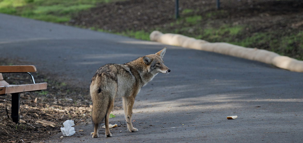 Woman bitten during another coyote attack in Stanley Park